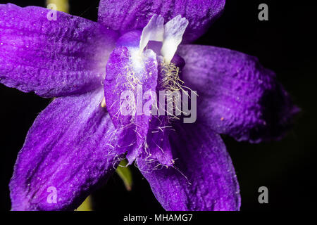 A spring wildflower is seen in this macro image taken in Central Appalachia, United States. - Stock Photo