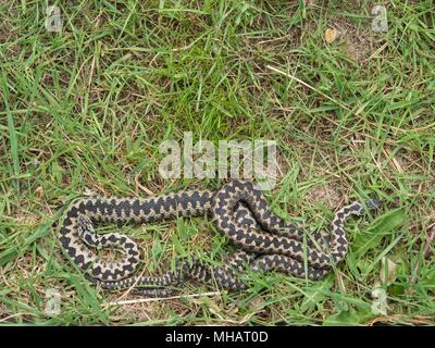 Two Adders ( Vipera berus ) Entangled in Each Other. - Stock Photo