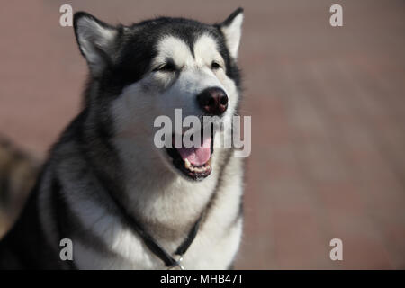 Portrait of  Siberian huskies, close to - Stock Photo