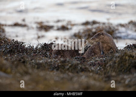 A pair of young otters practising fighting beside a coastal loch on the Isle of Mull in Scotland. - Stock Photo