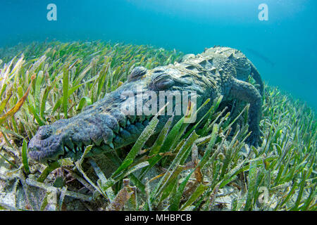 American crocodile (Crocodylus acutus), Underwater, Jardines de la Reina, Cuba - Stock Photo