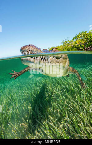 American crocodile (Crocodylus acutus), Underwater, Split-Level image, Jardines de la Reina, Cuba - Stock Photo