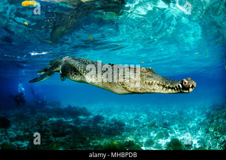 Saltwater crocodile (Crocodylus porosus), Underwater, Palau, Micronesia - Stock Photo