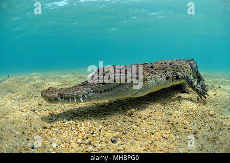 Saltwater crocodile (Crocodylus porosus), Underwater, Kimbe Bay, West New Britain, Papua New Guinea - Stock Photo