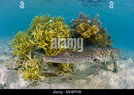 Saltwater crocodile (Crocodylus porosus) on coral, underwater, coral reef, Kimbe Bay, West New Britain, Papua New Guinea - Stock Photo