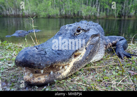 American alligator (Alligator mississippiensis), animal portrait on the shore, Everglades, Florida, USA - Stock Photo