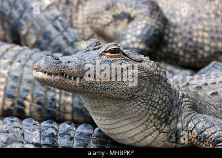 American alligators (Alligator mississippiensis), young animal, Everglades, Florida, USA - Stock Photo