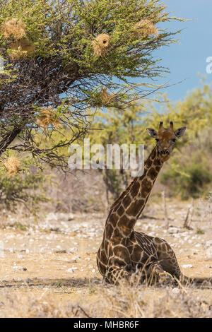 Angola-Giraffe (Giraffa camelopardalis) under a tree in the shade, Etosha National Park, Namibia - Stock Photo