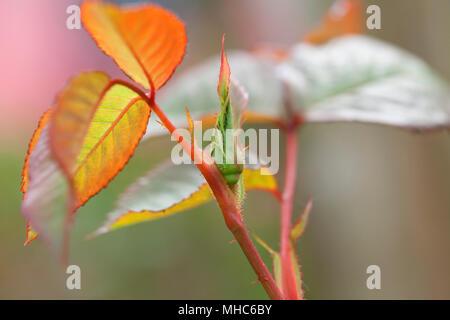 A bud of rosebush prepares to bloom. - Stock Photo