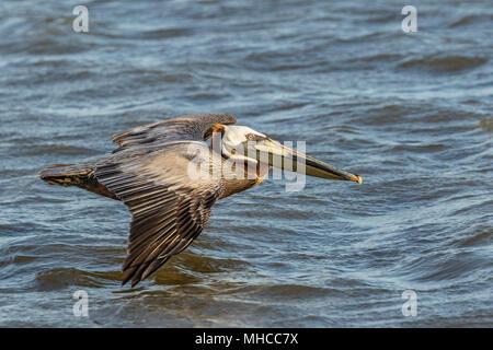 Brown Pelicans in flight at North Deer Island Pelican Rookery in Galveston Bay. - Stock Photo