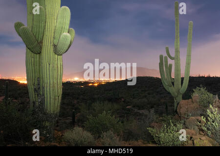 Saguaro cactus (Carnegiea gigantea) in the evening with city lights in the distance,Tucson, Arizona - Stock Photo