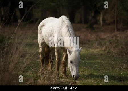 New Forest White Pony standing, grazing - Stock Photo