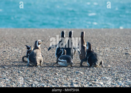 Patagonia penguin group while walking on the beach
