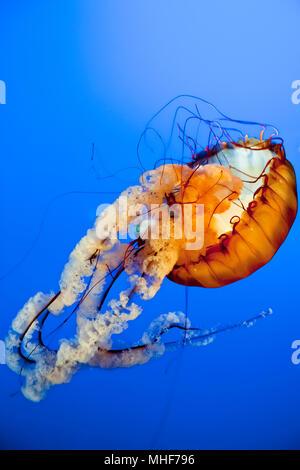 Orange  Jellyfish close up in the deep blue sea - Stock Photo