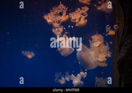 Jellyfish in captivity - Stock Photo