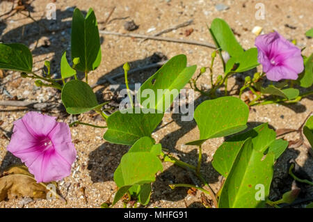 Ipomoea pes-caprae, also known as bayhops, beach morning glory or goat's foot on the sand of East Point Beach in Darwin, Northern Territory, Australia - Stock Photo