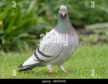 A Homing Pigeon Feeding in a Garden on a Lawn in Alsager Cheshire England United Kingdom UK - Stock Photo