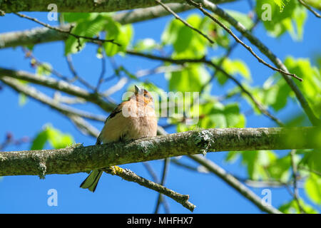 Male Chaffinch sitting on a branch in a tree - Stock Photo