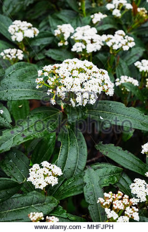 Viburnum davidii plant in late April, showing pest damage to leaves. - Stock Photo