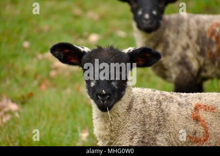 Little lamb, taken in the cotswolds during spring. - Stock Photo