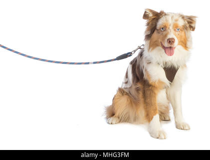 american shepherd seated and leashed with a harness on white background - Stock Photo