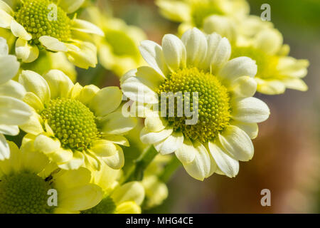 Many small yellow wild flowers - Stock Photo
