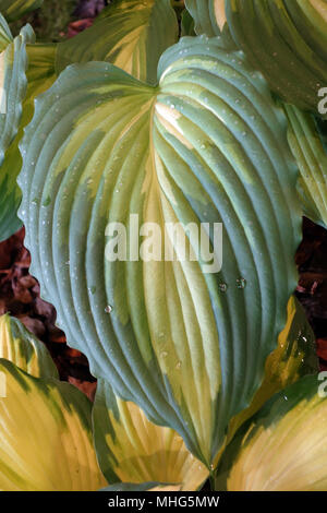 Close up of 'War Paint' Hosta Leaves with Water Droplets on Display at Harrogate Spring Flower Show. Yorkshire, England, UK. - Stock Photo