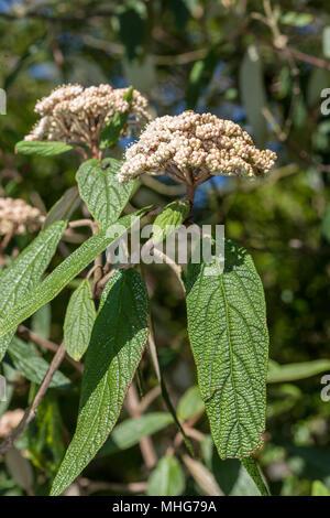 Wrinkled viburnum, Rynkolvon (Viburnum rhytidophyllum) - Stock Photo