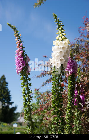 Common Foxglove, Fingerborgsblomma (Digitalis purpurea) - Stock Photo