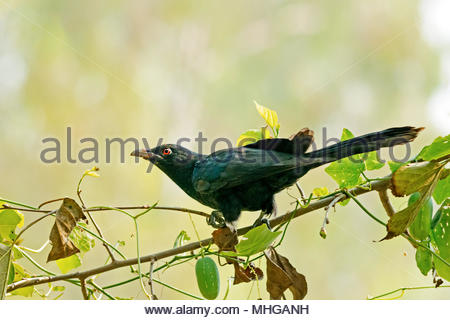The male asian koel watching keenly sitting on a tree branch. - Stock Photo