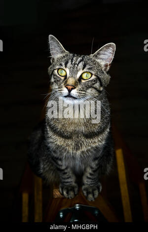 Gray cat with green eyes sitting on a ladder. - Stock Photo