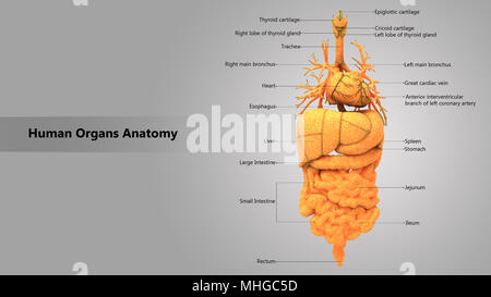Human Body Internal Organs with Label Design Anatomy Posterior View ...