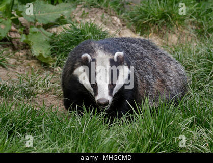 Eurasian Badger (meles meles) - Stock Photo
