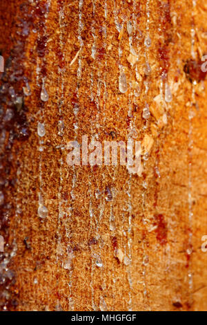 Resin dripping from the trunk of a cut pine tree. Shallow depth of field. - Stock Photo