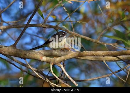 An Australian, Queensland Grey Fantail, Rhipidura fuliginosa resting on a Tree branch - Stock Photo