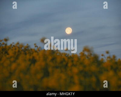 Isle of Sheppey, Kent, UK. 1st May, 2018. UK Weather: the full moon setting over a rapeseed field on the Isle of Sheppey at dawn. Credit: James Bell/Alamy Live News - Stock Photo