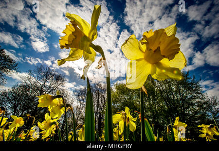 Moses Gate Country Park, Bolton. 1st May, 2018. UK Weather: A beautiful sunny May Day as temperatures begin to rise in Bolton ahead of the bank holiday weekend. A bed of daffodils sway in the breeze and sunshine in Queen's Park, Bolton. Picture by Paul Heyes, Monday May 1st, 2018. Credit: Paul Heyes/Alamy Live News - Stock Photo
