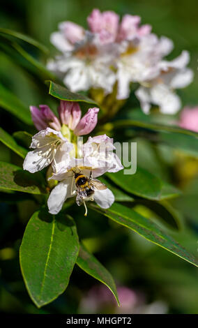 Moses Gate Country Park, Bolton. 1st May, 2018. UK Weather: A beautiful sunny May Day as temperatures begin to rise in Bolton ahead of the bank holiday weekend.  A bee busily collect pollen from the blooms of a rhododendron bush in Queen's Park, Bolton. Picture by Paul Heyes, Monday May 1st, 2018. Credit: Paul Heyes/Alamy Live News - Stock Photo