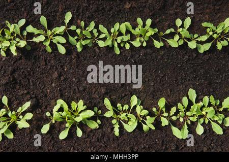 Two rows of fresh lettuce seedlings. - Stock Photo