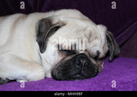 A one year old male Pug dog asleep - Stock Photo