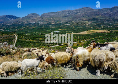 Herd of goats overlooking scenic valley in southern Crete near Lefkogia - Stock Photo