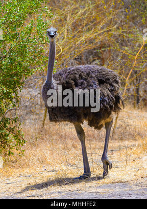 African ostrich walks in Senegal - Stock Photo