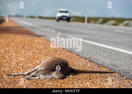 Dead kangaroo on a road in West Australia - Stock Photo