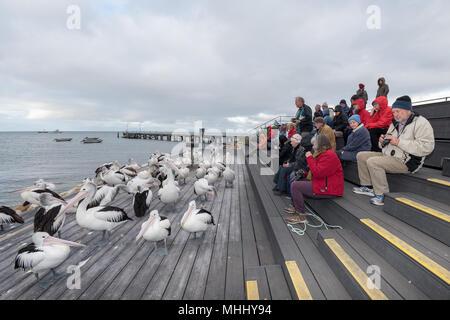 KINGSCOTE, AUSTRALIA - SEPTEMBER, 3 2015 - Pelican feeding in Kangaroo Island, every day at 5 pm this man feeds pelicans - Stock Photo