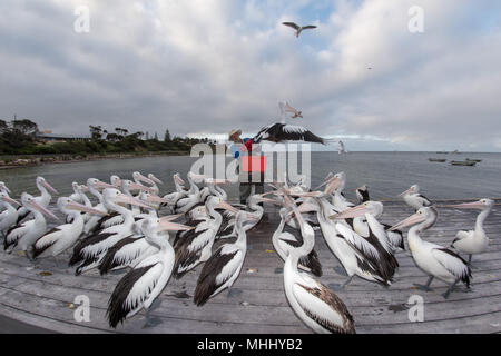 KINGSCOTE, AUSTRALIA - SEPTEMBER, 3 2015 - Pelican feeding in Kangaroo Island, every day at 5 pm this man feeds pelicans - Stock Photo
