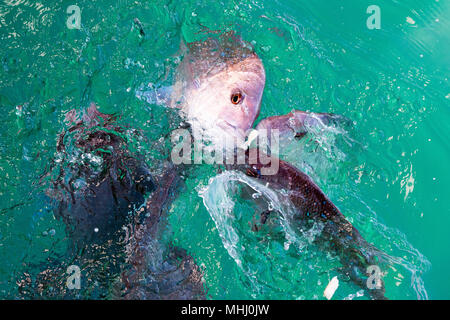 red snappers fish while eating on sea surface - Stock Photo