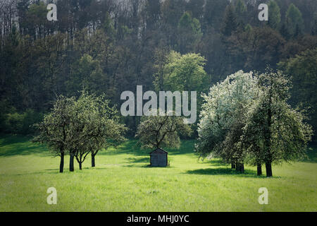 A shed is framed by flowering apple trees. The light green meadow is in contrast to the dark green of the forest in the background - Stock Photo