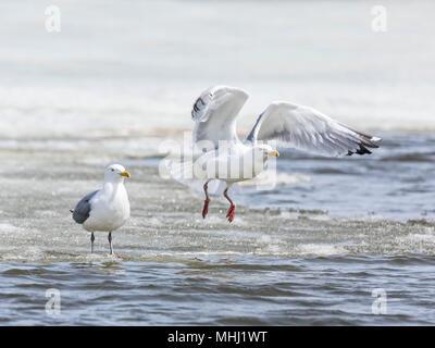 Common Gulls (Larus canus), or Mew Gulls, taking flight, Fortwhyte, Manitoba, Canada. - Stock Photo