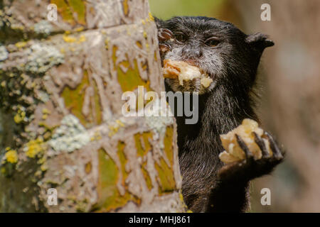 A wild saddle backed tamarin from the outskirts of Tarapoto, greedily shoving food in his face. - Stock Photo