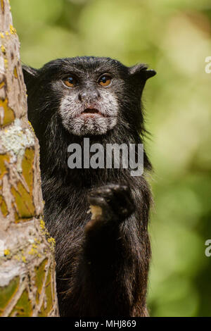 A wild saddle backed tamarin (Saguinus fuscicollis) from the outskirts of Tarapoto, Peru.  This one is eating some sort of fruit it picked up. - Stock Photo